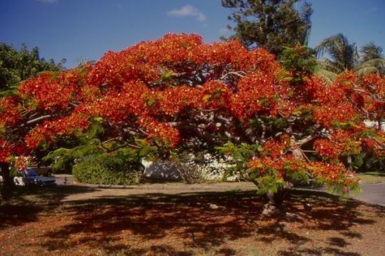 Décembre en fleurs Nouvelle-Caledonie