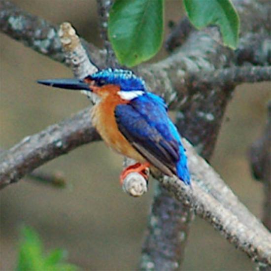 Oiseau mahorais à bec bleu
