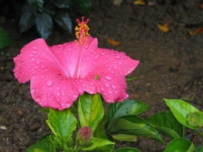 Un ibiscus rose