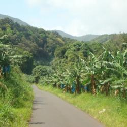bananeraies gwada