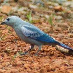 tangara bleue